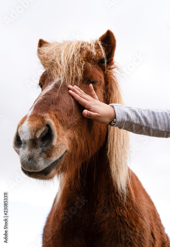 Foto op Canvas Paarden An Icelandic horse getting petted on a white background