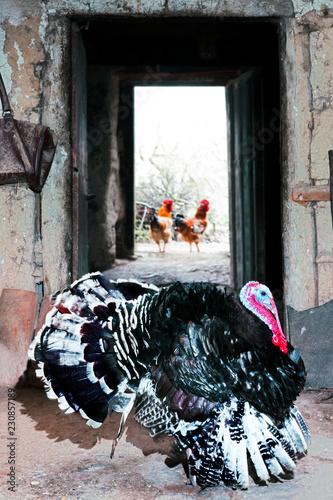 turkey in traditional vintage farm
