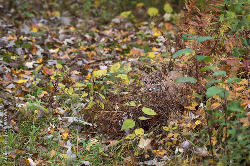 Fototapeta premium Ryś rudy (Lynx rufus) chowa się w jesiennych trawach