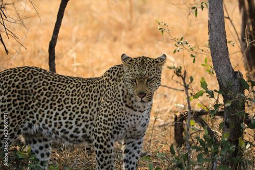 Léopard du Bush