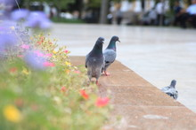 Bluish-gray Rock Pigeon Sitting On The Cobblestones Pavement In Front Of Blurry Buildings