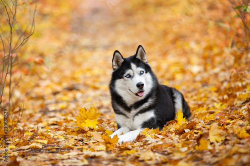 Beautiful Black And White Blue Eyed Siberian Husky Lies In The