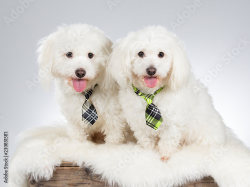 Funny dog picture. Two Coton de Tulear dogs wearing a tie. Business dog concept image.