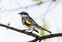 Yellow-rumped Warbler Sitting On A Tree Branch