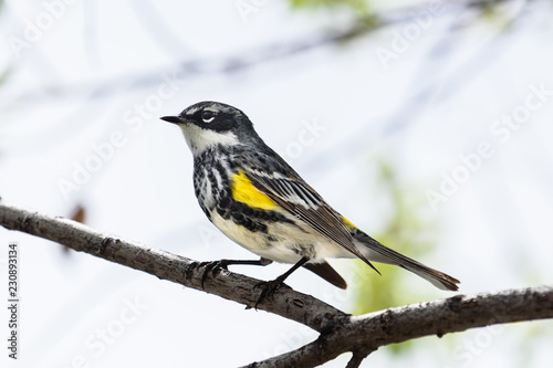 Photo Yellow-rumped Warbler Sitting on a Tree Branch
