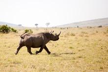 A Rare Black Rhino (Diceros Bicornis) Is Running Towards The Safari Car In Maasai Mara National Park, Kenya.