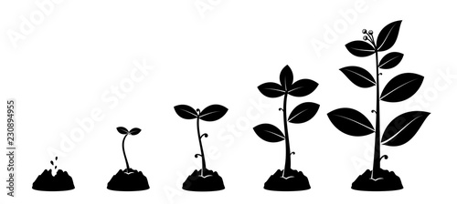 Fototapeta Planting seed sprout in ground. Infographic silhouette sequence grow sapling. Flat icon seedling gardening tree. Vector illustration. Isolated on white background. obraz