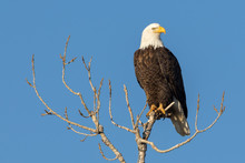 Gorgeous Perched Eagle