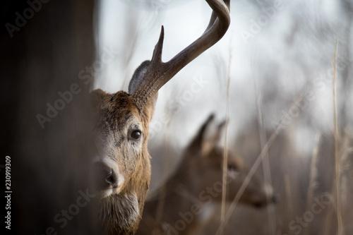 Poster Cerf Peak-a-boo Buck