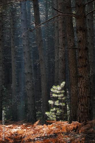 Fényképezés  Sun Highlight On Needles Of Young Pine Tree Against Pinewood