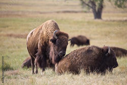 Deurstickers Bison american bison