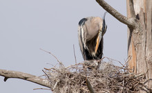 Great Blue Heron With Babies