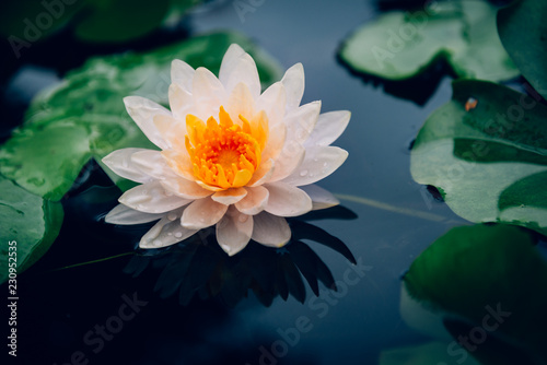 Recess Fitting Lotus flower Lotus flower in pond