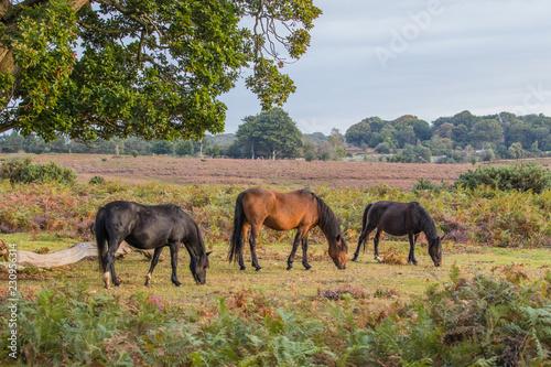 Fotografie, Obraz New Forest Pony