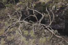 Twisted Dead Branches In Etna Park, Sicily