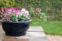 Violets Or Colorful Pansies In Blue Flower Pot. On Wooden Table After The Rain, In Green Garden. Natural Background With Copy Space