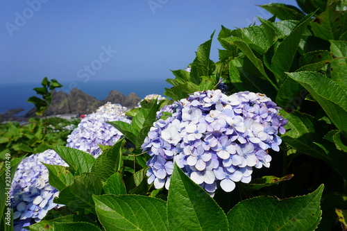 Spoed Foto op Canvas Hydrangea Hydrangeas by the stairs