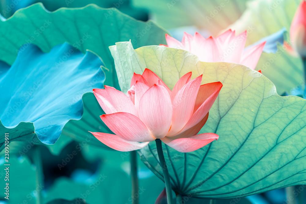 Fototapeta blooming lotus flower