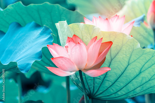Poster Lotus flower blooming lotus flower