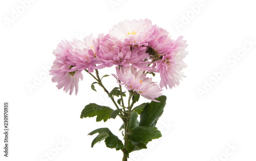 Carta da parati chrysanthemum isolated
