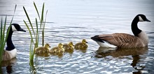 Canadian Goose And Goslings Swimming
