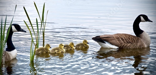 Obraz canadian goose and goslings swimming  - fototapety do salonu