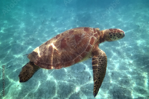 Critically endangered species eretmochelys imbricata hawksbill sea turtle swimming in turquoise water, petite terre, guadeloupe, french west indies.