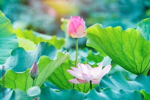 Fond de hotte en verre imprimé Fleur de lotus Lotus flower and Lotus flower plants