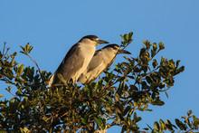 Night Herons In The Pantanal