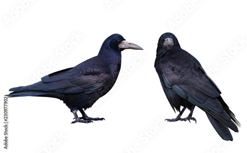 Black crow. Isolated on white