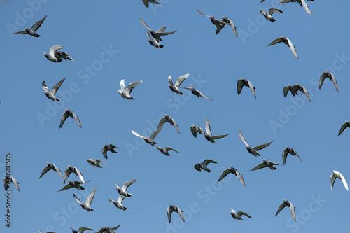flock of speed racing pigeon flying against clear blue sky
