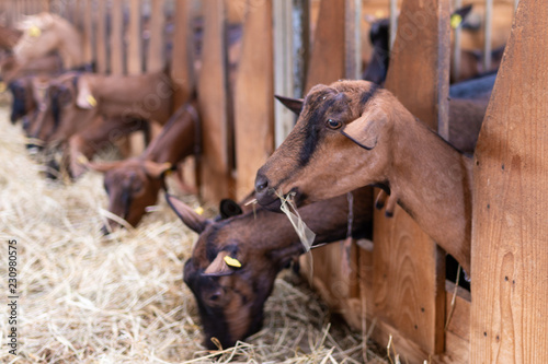 Fotografia Caprette che sporgono  dal recinto in legno nella stalla per mangiare