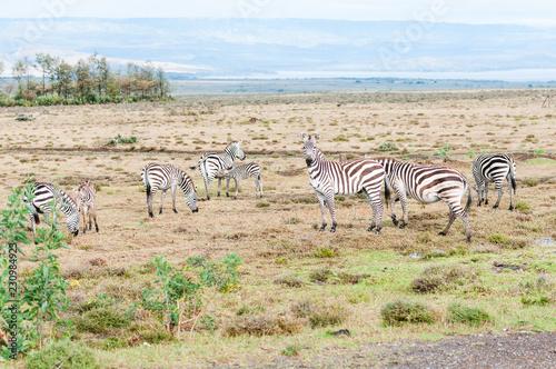 Photo  zebra kenya
