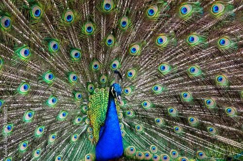 Naklejka premium Paw w warunkach naturalnych. Widać piękną kolorystykę ptaków.