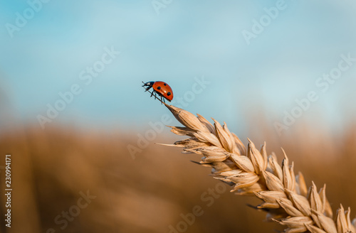 Golden Wheat Ear with Ladybug.