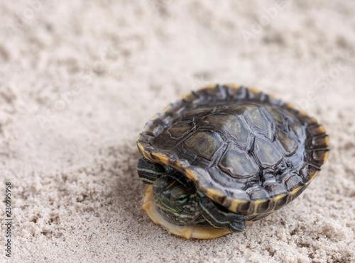 Foto op Aluminium Schildpad Common Slider, also known as Cumberland Slider Turtle, Red-eared Slider Turtle, Slider (Trachemys scripta) on a sand