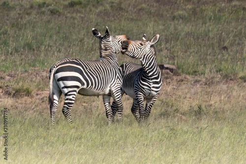 Two playful mountain zebras in the Mountain Zebra National Park in South Africa