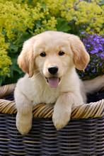 Golden Retriever Puppy In A Wi...