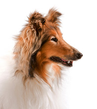 Profile Portrait Of A Rough Collie