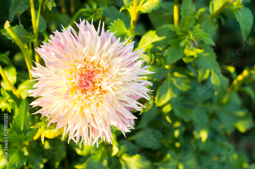 Foto op Plexiglas Dahlia Multi-colored yellow pink dahlia flower on the bush
