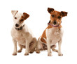 Pair of Brown and White Jack Russell Terrier dogs, sitting with heads titled tilte