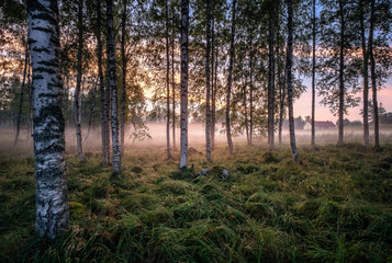 Fototapeta Las Idyllic landscape with birch forest and farm house at summer evening in Finland