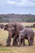 Sri Lankan elephants (Elephas maximus maximus), adult with young animals, Wasgamuwa National Park, Sri Lanka, Asia