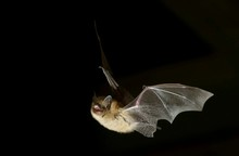 Geoffroy's Bat (Myotis Emarginatus) In Flight At Night, Luxembourg, Europe