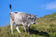 Tyrolean Grey Cattle, Cow On T...