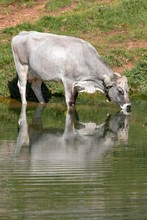 Tyrolean Grey Cattle On The Alp, Cow Drinking From A Mountain Lake, Rofan Mountains, Tyrol, Austria, Europe