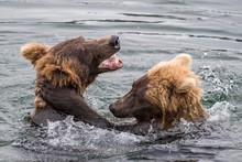 Two Young Brown Bears (Ursus Arctos) Playing In The Water, Brooks River, Katmai National Park, Alaska, USA, North America
