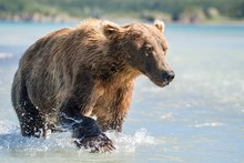 Brown Bear (Ursus Arctos) Runs...