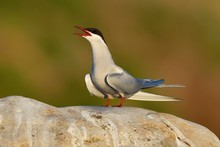 Arctic Tern Perching On Rock