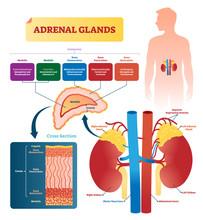 Adrenal Glands Vector Illustration. Labeled Scheme With Hormones Types